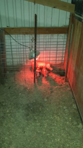 new farrowing pen1