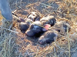 Ossabaw Piglets sleeping in the Sun