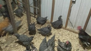 New Pullets with the Layers