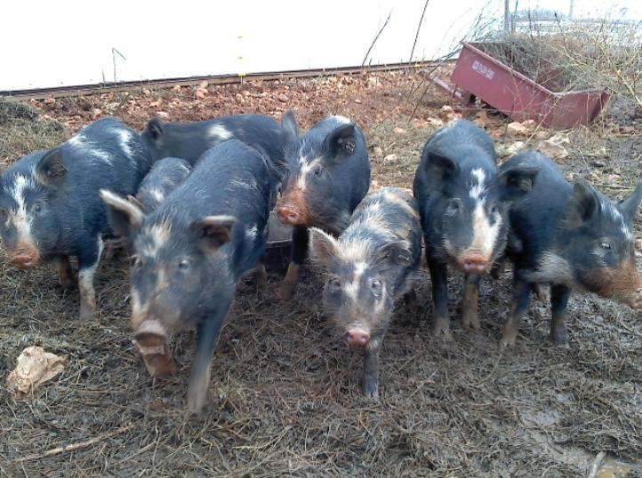 Ossabaw Island pigs in their winter quarters