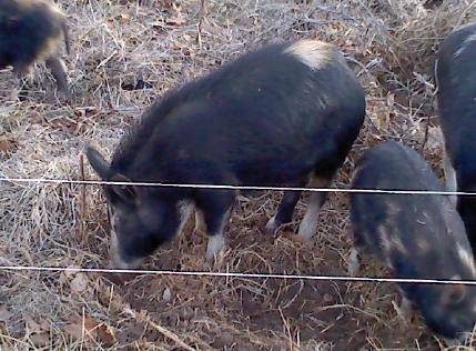 Ossabaw Island Pigs rooting next to a hotwire fence