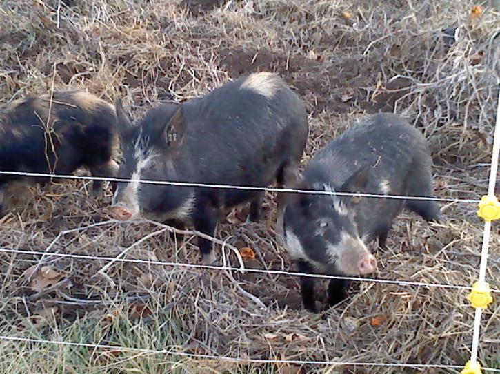 Young Ossabaw Island pigs checking out the electric fence